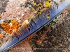 Mountain bluebird feather on lichen rock, DINO CO (2)