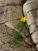Flower in crack, Ruple Pt Trail, DINO CO (1)