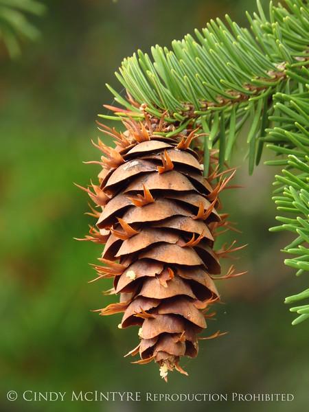 Douglas fir cone, Canyon Overlook (2)