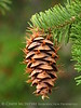 Douglas fir cone, Canyon Overlook (2)