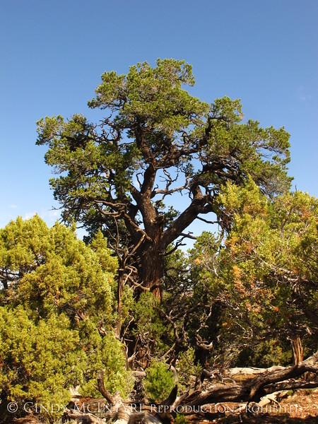 Ancient pinyon pine, HCT, DINO CO