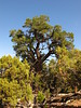 Ancient pinyon pine, HCT, DINO CO