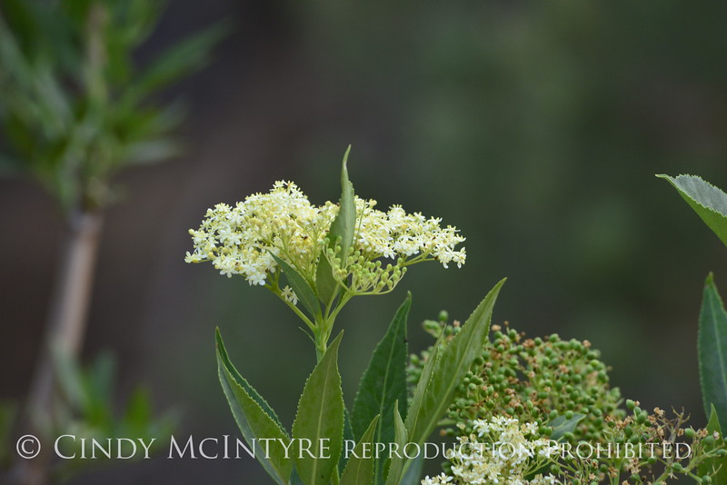 Elderberry (4)