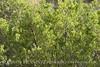 Greasewood, Sacrobatus vermiculatus (1)