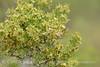 Greasewood, Sacrobatus vermiculatus (3)