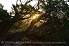 Sunrise through juniper (3)