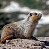 Hidden Lake Overlook resident Marmot