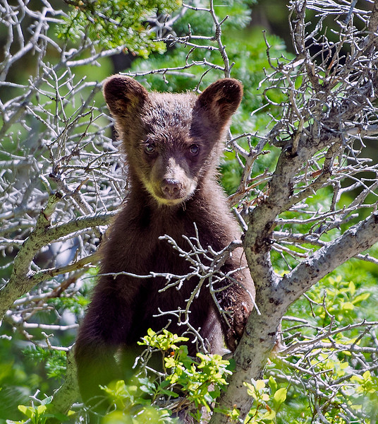 Black bear cub, Iceberg Lake trail