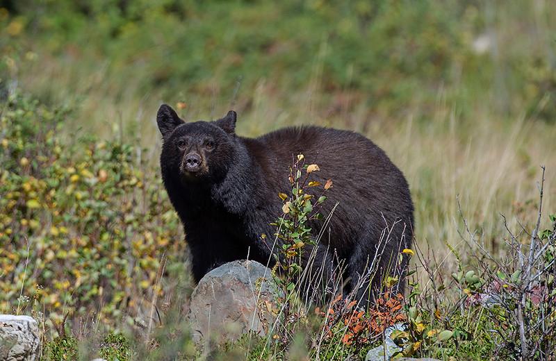 Black bear, rising sun campgrounds.