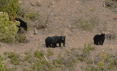 Mother Black Bear and 3 Cubs