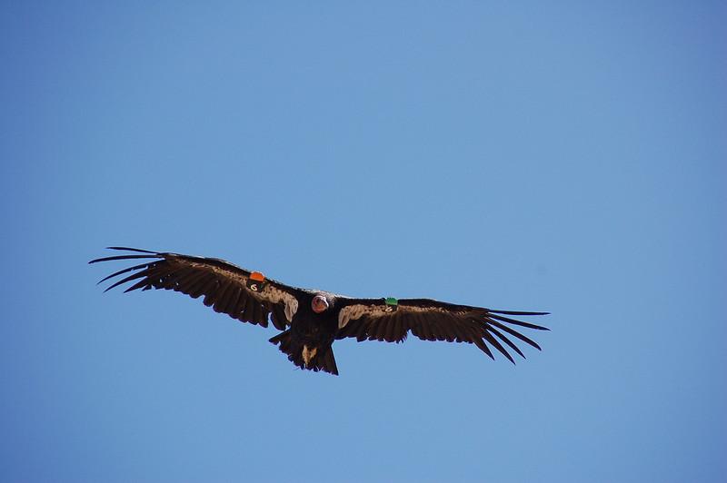 Condor #6