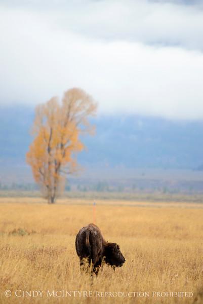 Bison, Grand Teton NP WY (88)