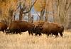 Bison, Grand Teton NP WY (63)