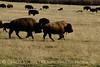 Bison, Grand Teton NP WY (37)