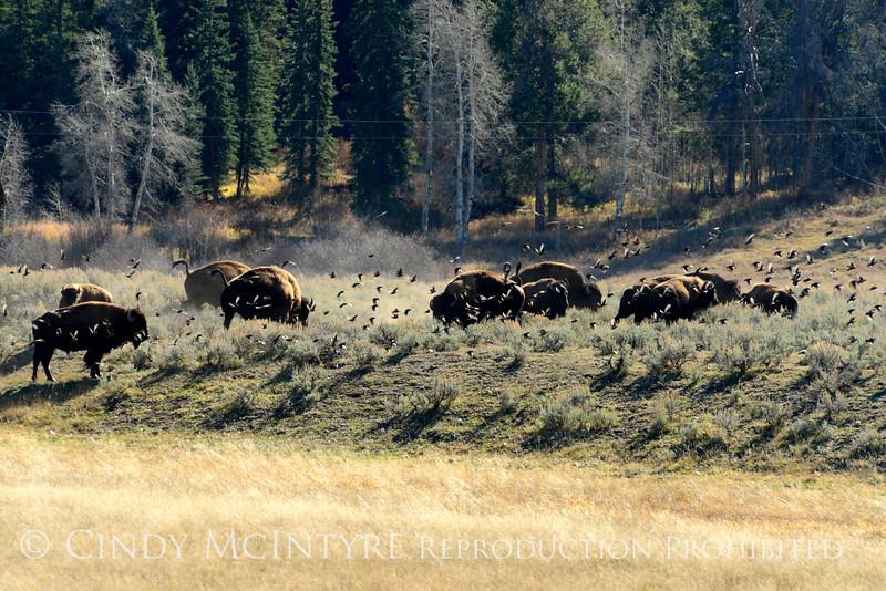 Bison, Grand Teton NP WY (15)
