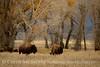 Bison, Grand Teton NP WY (58)