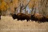 Bison, Grand Teton NP WY (67)