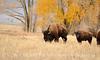 Bison, Grand Teton NP WY (74)