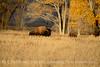 Bison, Grand Teton NP WY (59)