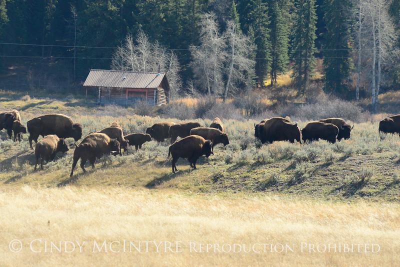 Bison, Grand Teton NP WY (14)