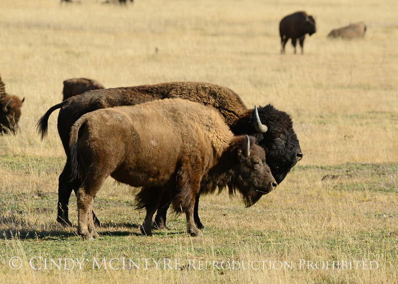 Bison, Grand Teton NP WY (33)
