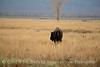 Bison, Grand Teton NP WY (84)