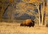 Bison, Grand Teton NP WY (60)