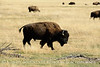 Bison, Grand Teton NP WY (30)