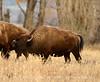 Bison, Grand Teton NP WY (64)