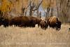 Bison, Grand Teton NP WY (70)