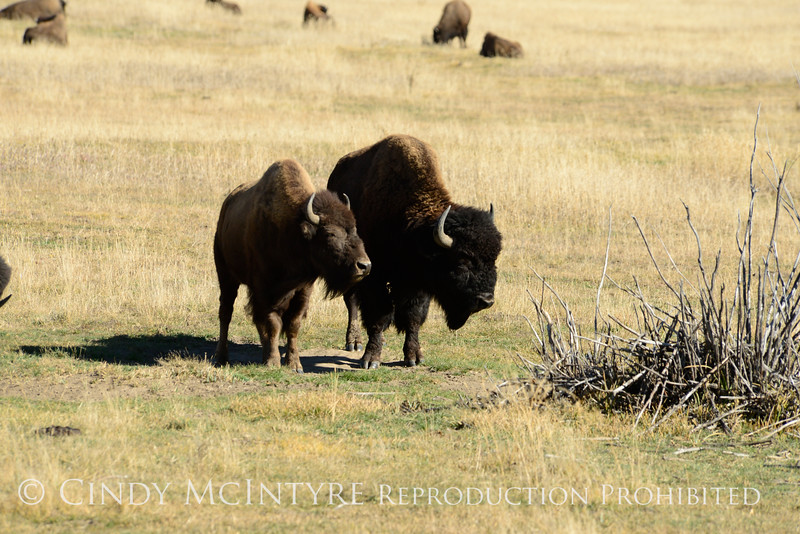 Bison, Grand Teton NP WY (20)