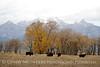 Bison, Grand Teton NP WY (77)