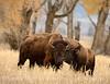 Bison, Grand Teton NP WY (71)