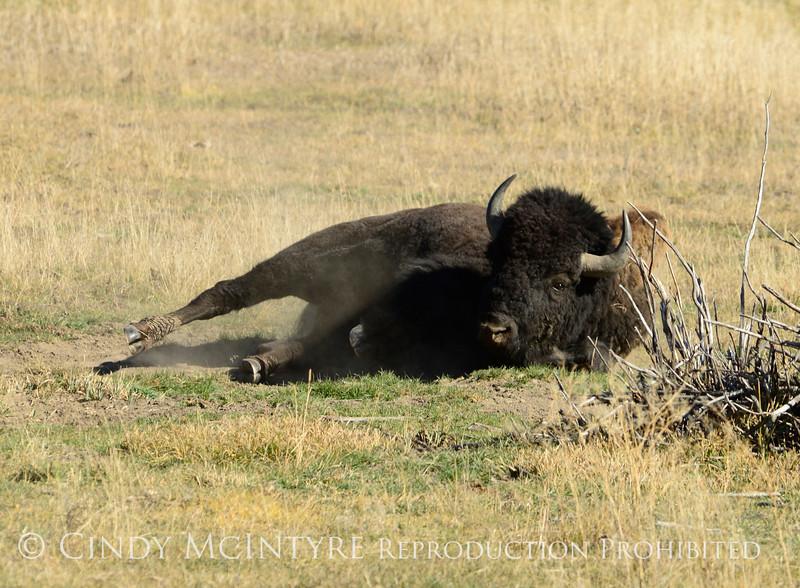 Bison, Grand Teton NP WY (23)