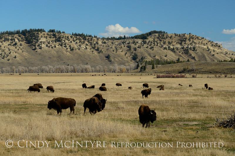 Bison, Grand Teton NP WY (16)