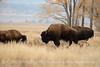 Bison, Grand Teton NP WY (81)