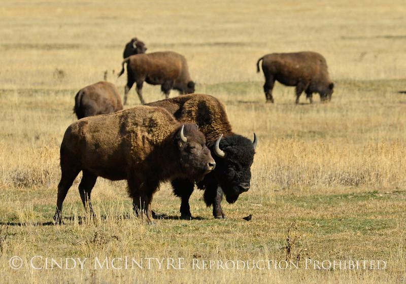 Bison, Grand Teton NP WY (4)