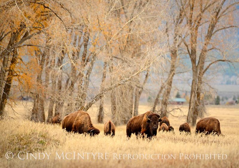 Bison, Grand Teton NP WY (47)