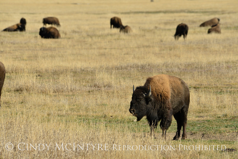 Bison, Grand Teton NP WY (11)