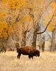 Bison, Grand Teton NP WY (54)