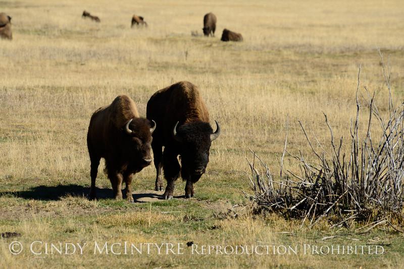 Bison, Grand Teton NP WY (18)