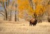Bison, Grand Teton NP WY (53)
