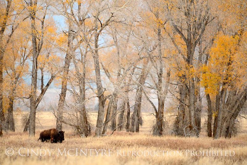 Bison, Grand Teton NP WY (42)