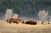 Horse and Bison Calf, Grand Teton NP WY (3)