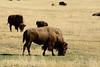 Bison, Grand Teton NP WY (27)