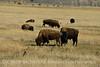 Bison, Grand Teton NP WY (1)