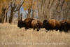 Bison, Grand Teton NP WY (66)