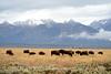 Bison, Grand Teton NP WY (83)