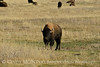 Bison, Grand Teton NP WY (10)