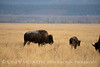 Bison, Grand Teton NP WY (87)